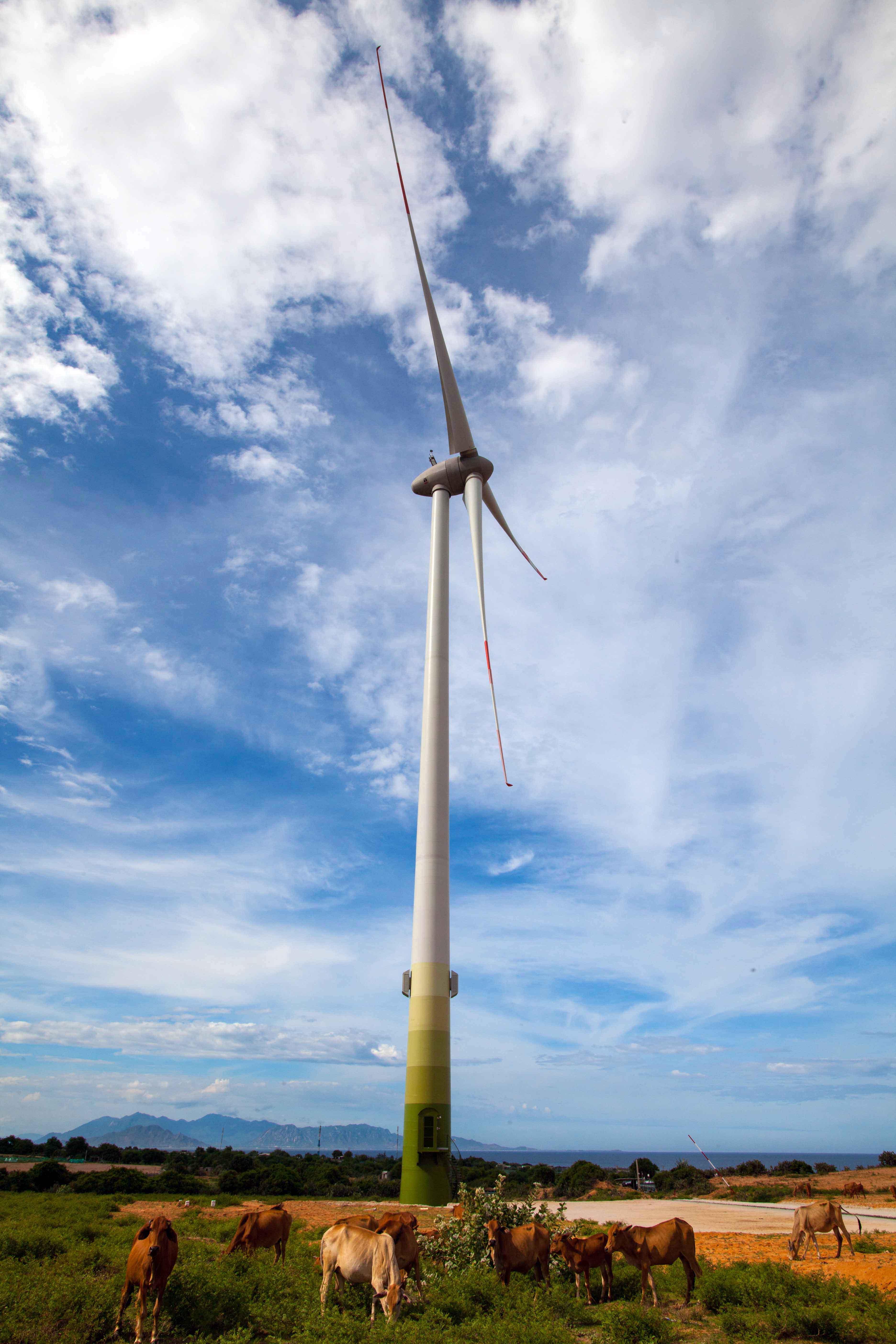 Những đàn bò, đàn dê thong dong gặm cỏ dưới chân những trụ quạt gió quay đều là điểm nhấn cho khung cảnh ấn tượng ở cánh đồng điện gió Mũi Dinh.