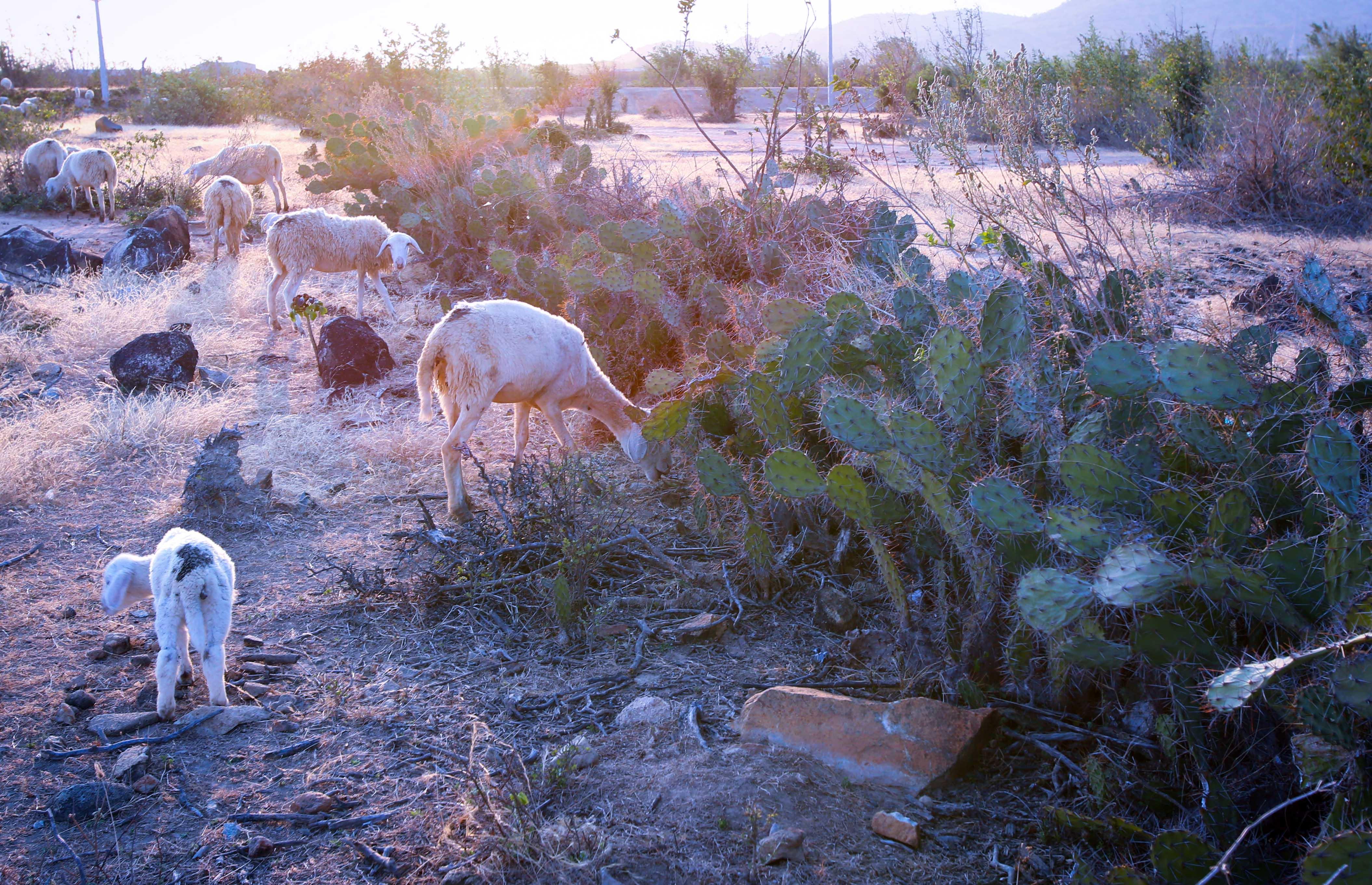 Với khí hậu khô hạn, xương rồng trở thành một loại thực phẩm dự trữ quý giá cho gia súc như cừu ở An Hòa, khi đốt hết gai nhọn.