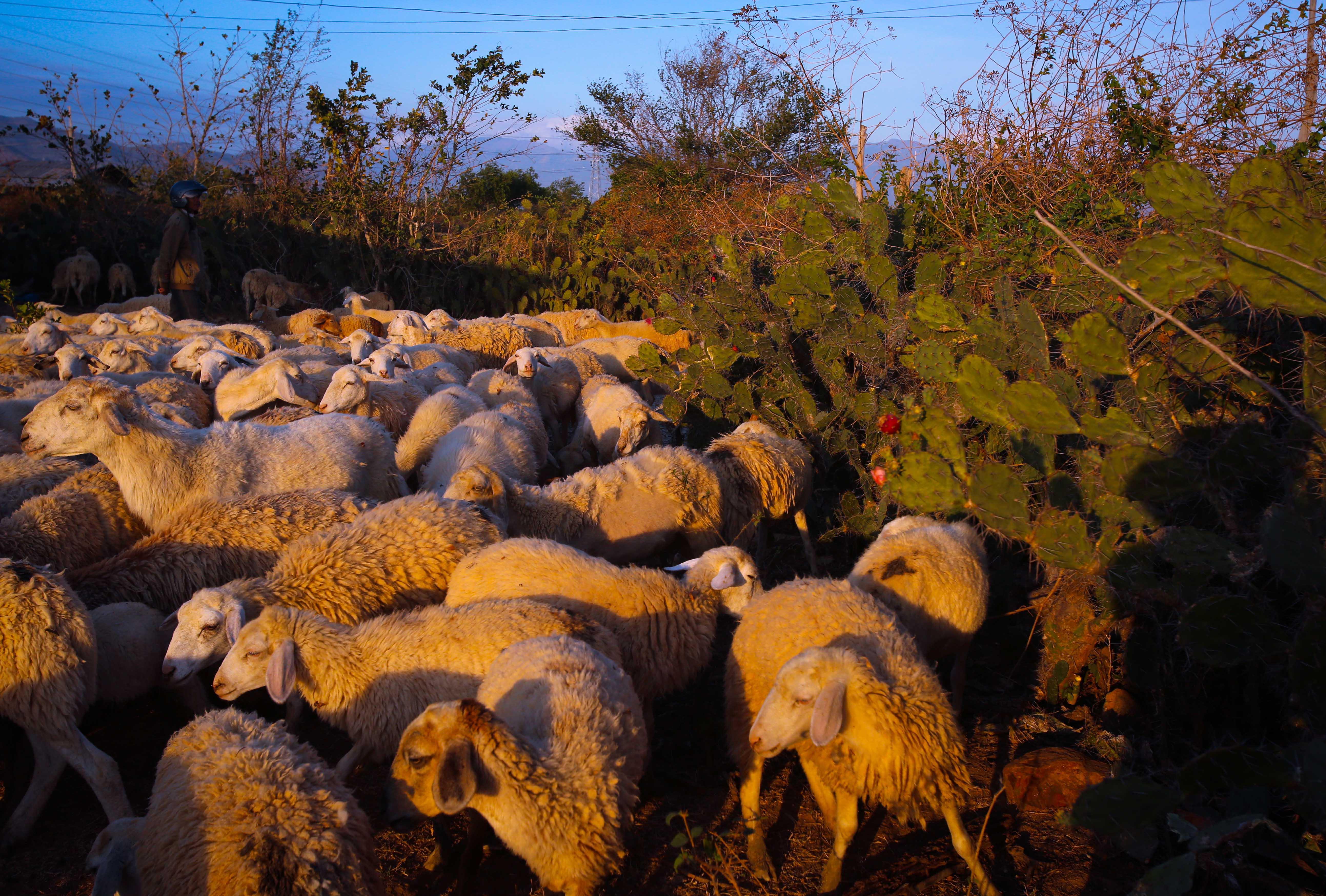Khi nắng chỉ còn đậu trên những cành xương rồng gai góc, khi đồng cỏ mênh mông bắt đầu nhuốm màu loang tối, cũng là lúc cừu trở về nhà, kết thúc một ngày kiếm ăn nơi đồng khô nắng cháy.