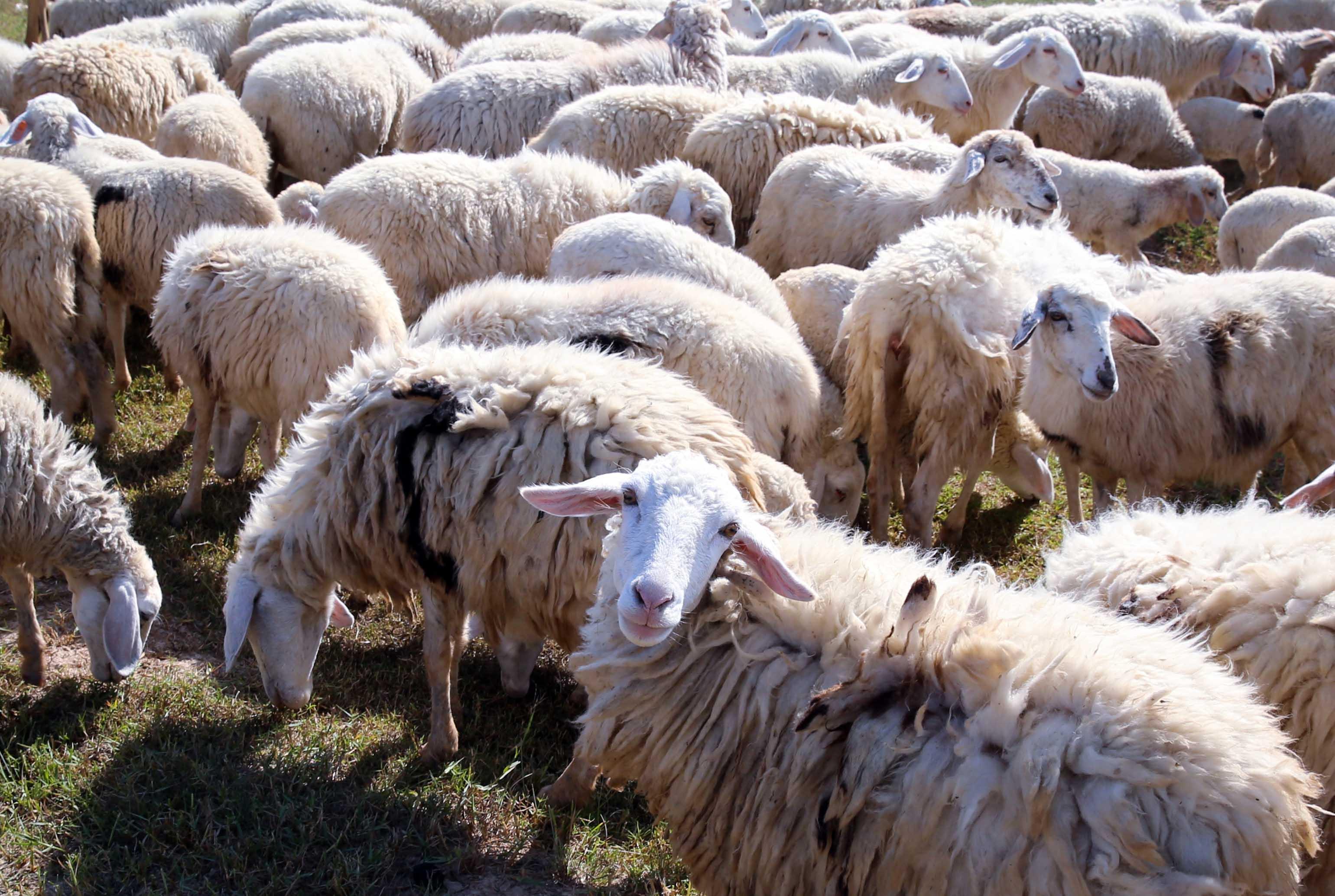 """Giữa cánh đồng bạt ngàn màu trắng của cừu có những tiếng """"be be"""" chào khách nơi đồng cừu."""