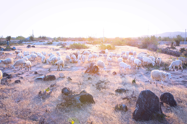 """Kỳ III: Đồng cừu An Hòa - """"thảo nguyên"""" cỏ cháy và tiếng be be gọi bầy"""