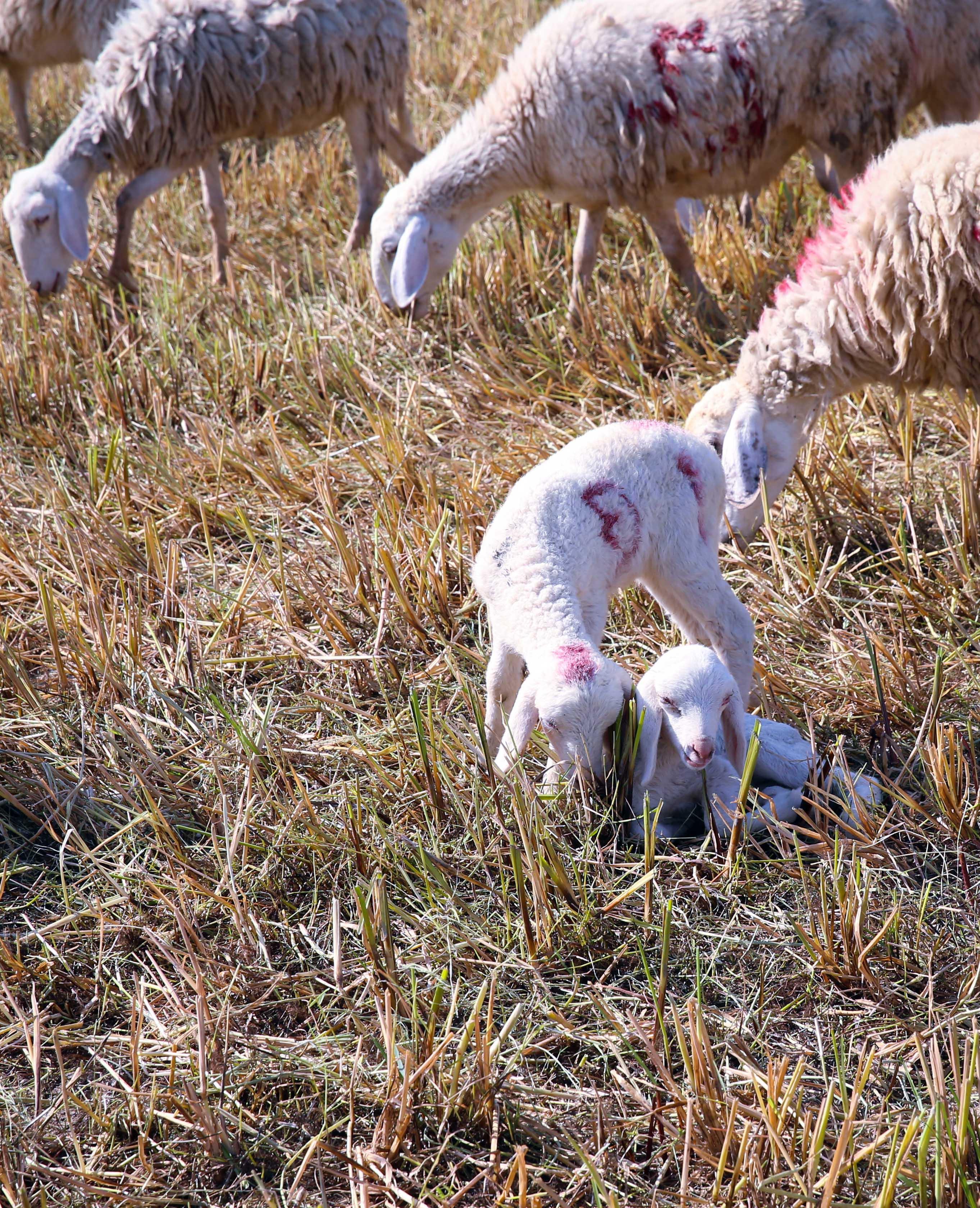Giữa thảo nguyên bao la, có những chú cừu non như những cụm bông lăng xăng đùa nghịch.