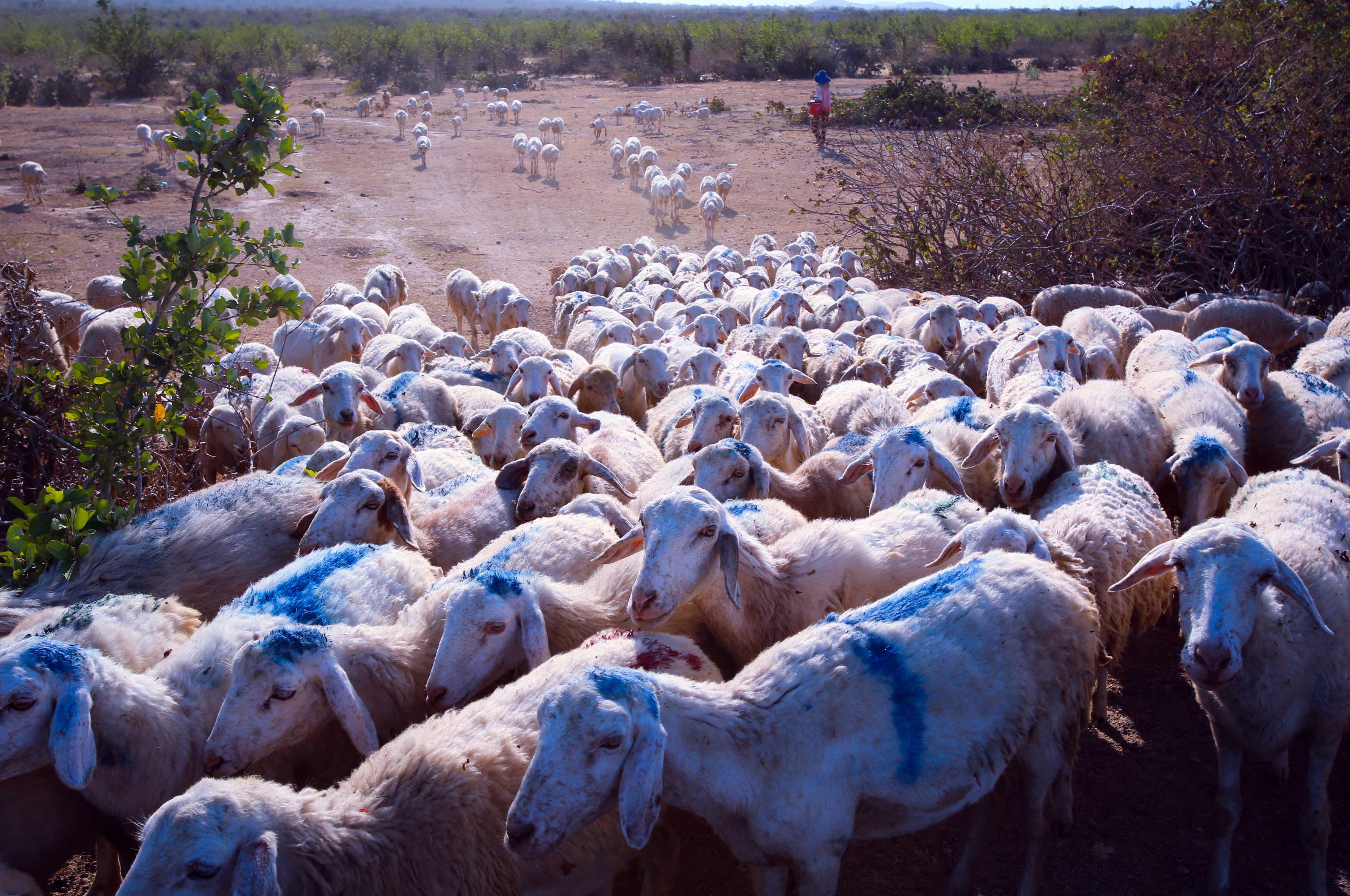 Bạt ngàn cừu chăn thả trên cánh đồng nhưng cách phân biệt cừu của mỗi trại lại rất dễ, cứ nhìn cách người ta quẹt màu trên lưng cừu để nhận diện đàn.